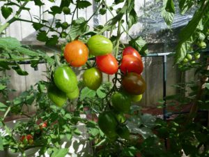 growing toms
