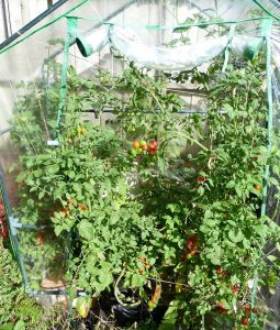 dwc for tomatoes: greenhouse