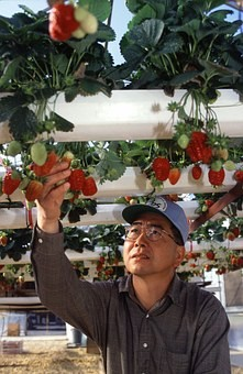 hydroponics vs soil growing :good hydroponics