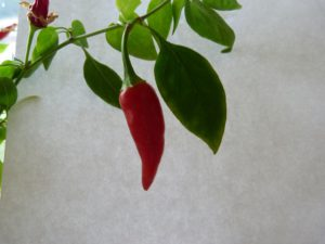 last stage red chillis