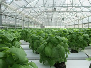 growing hydroponically