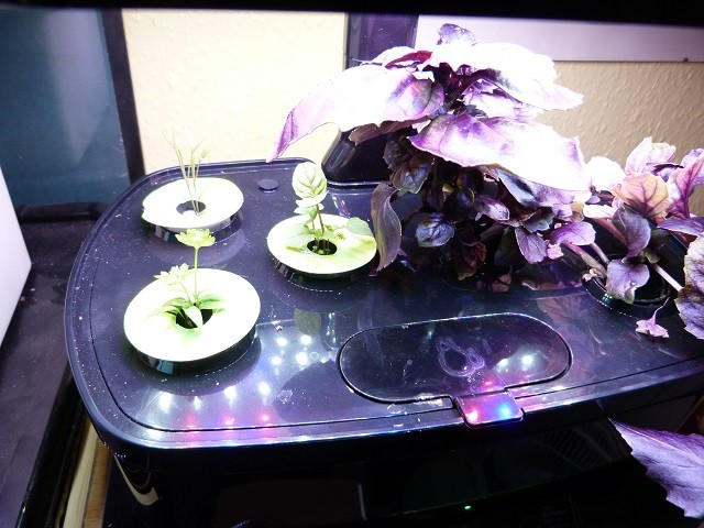seedlings after 3 weeks Aerogarden harvest