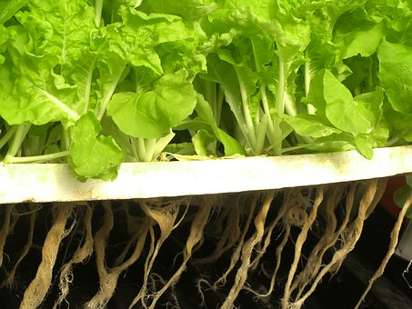 grow plants hydroponically